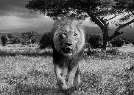 lion, africa, wildcat-588110.jpg